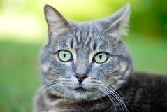 Visage de chat de Tabby   Images libres de droits