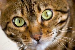 Visage de chat du Bengale Images libres de droits
