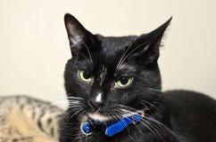 Visage de chat noir et blanc de smoking Photos libres de droits