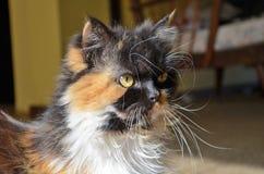 Visage de chat persan Photographie stock libre de droits