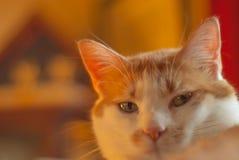 Visage de chat regardant directement l'appareil-photo avec les yeux lumineux images libres de droits