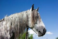 Visage de cheval. Photo libre de droits