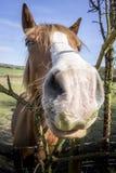Visage de cheval Photo libre de droits