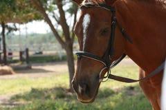 Visage de cheval brun Image libre de droits