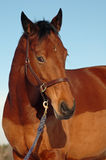 Visage de cheval et ciel bleu Photographie stock