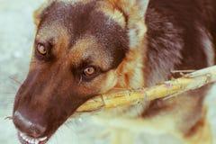 Visage de chien photographie stock