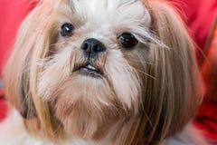 Visage de chien de tzu de Shih Images libres de droits