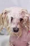 Visage de chien humide Image libre de droits
