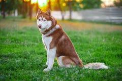 Visage de chien de traîneau sibérien en parc Image libre de droits