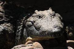 Visage de crocodile Photographie stock