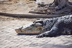 Visage de crocodile Images libres de droits