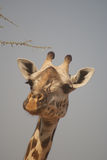 Visage de girafe Image libre de droits