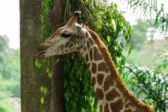 Visage de girafe dans la jungle Photo libre de droits