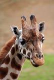 Visage de giraffe Photos libres de droits