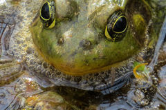Visage de grenouille regardant fixement moi Photo stock