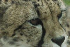 Visage de guépard Photographie stock