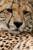 Visage de guépard Photo libre de droits