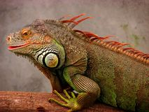 Visage de l'iguane vert Photo stock