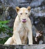 Visage de langue drôle de lionne Photo stock