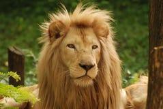 Visage de lion image stock