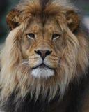 Visage de lion Images libres de droits
