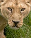 Visage de lionne Photo stock