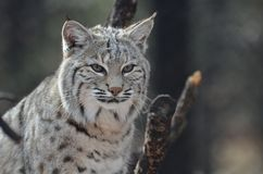 Visage de Lynx canadien photos libres de droits