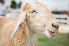 Visage de moutons de sourire Photo stock