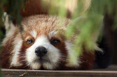 Visage de panda rouge Photo stock