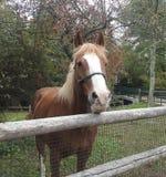 Visage de plan rapproché d'un cheval de trait belge Photographie stock libre de droits