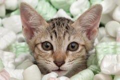 Visage de plan rapproché de chat Photographie stock libre de droits