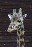 Visage de portrait d'Ertical et cou de la girafe d'un Rothschild Photo stock