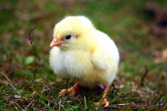 visage de poulet de chéri Photo stock