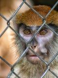 Visage de singe de Patas de primat Images libres de droits