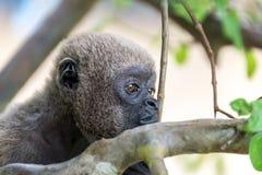 Visage de singe laineux photographie stock libre de droits
