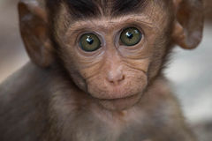 Visage de singes Photo libre de droits