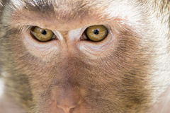 Visage de singes Photographie stock