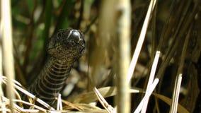 Visage de tête de serpent de vipère sur l'herbe photographie stock