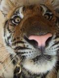 Visage de tigre Photos libres de droits