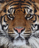 Visage de tigre Photo stock