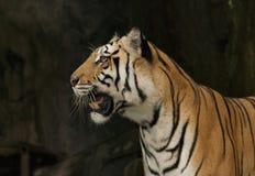 Visage de tigre de Bengale d'isolement dans le fond noir Photo libre de droits