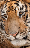 Visage de tigres Photos stock