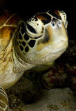 Visage de tortue verte Images libres de droits