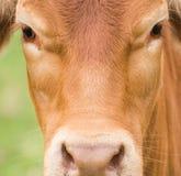 Visage de vache Photo libre de droits