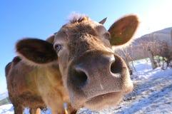 Visage de vache Images libres de droits
