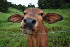 Visage de veau de Brown image stock