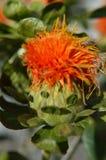 Visage drôle sur une fleur de carthame Image libre de droits