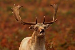 Visage drôle de cerfs communs photos stock
