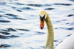 Visage du ` s de cygne sur le lac Photographie stock libre de droits