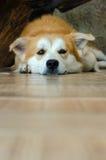 Visage en gros plan du chien brun mignon se trouvant sur le plancher Images libres de droits
